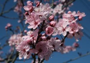 PrunusBlossom1